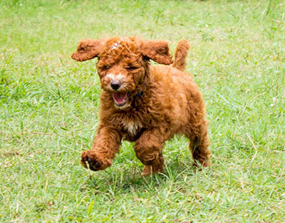 Groodle puppy running