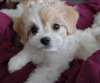 Maltalier puppy on the bed