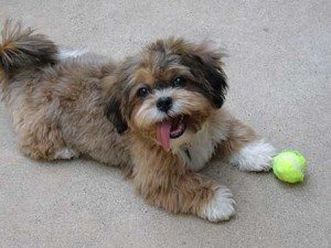Shihpoo with tennis ball