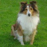 sheltie-dog-1363077