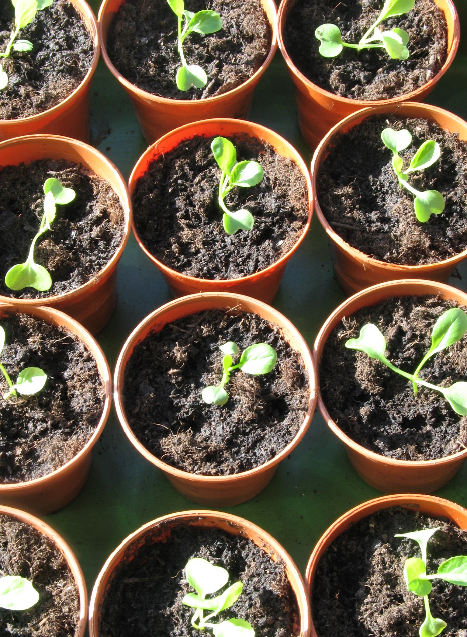 Seedling Cabbages