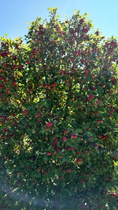 Fruit trees abound at Filoli