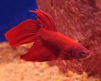 My Liebster: Red Samurai Fish