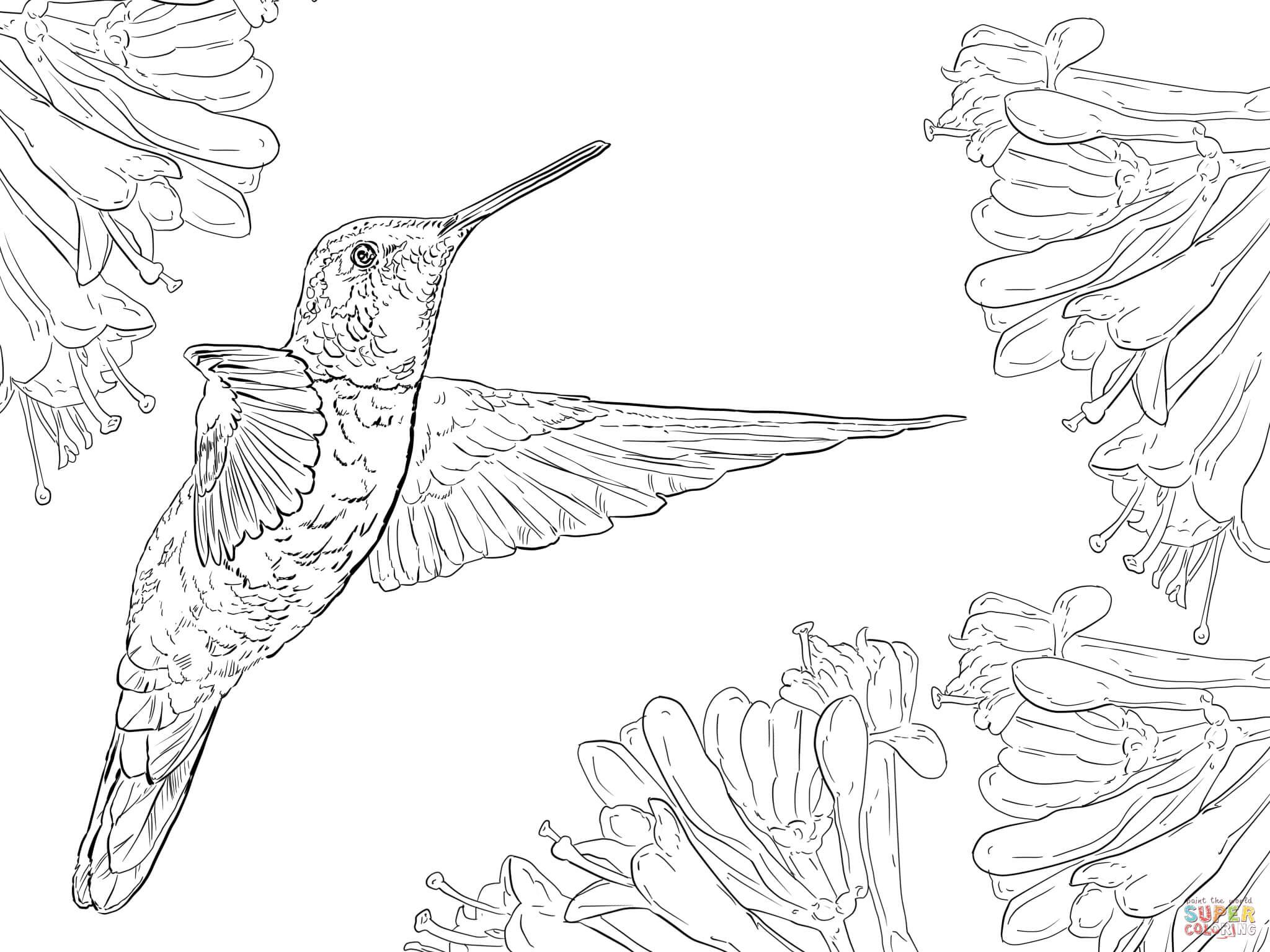Hummingbird Coloring Download Hummingbird Coloring For