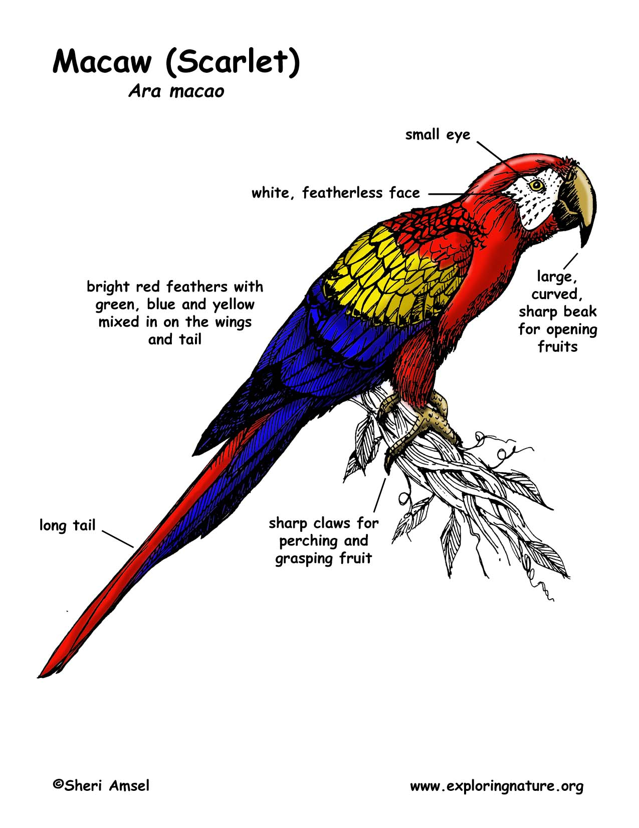 Download Scarlet Macaw Coloring For Free