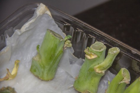 Close up of Chinese Vegetable Plant with new leaves