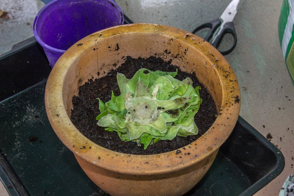 24/04/15 Day 10: Once more roots have grown, I decided to plant it in soil on the kitchen window still and more foliage has grown