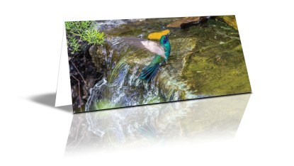 Photo of a humming bird bathing in a moving creek with it's wings blurred to show motion and the body very tact, Jardin Botanica, Quito