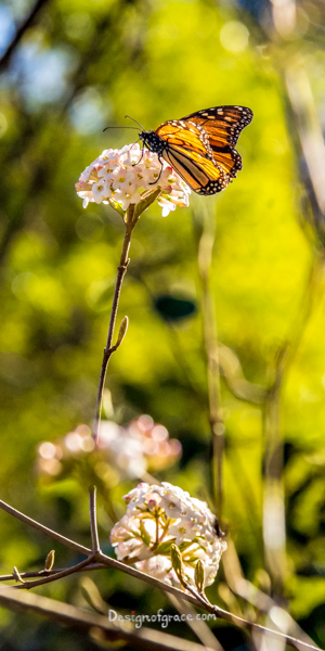 A beautiful orange and black butterfly on a long stemmed flower with a blurred out green background