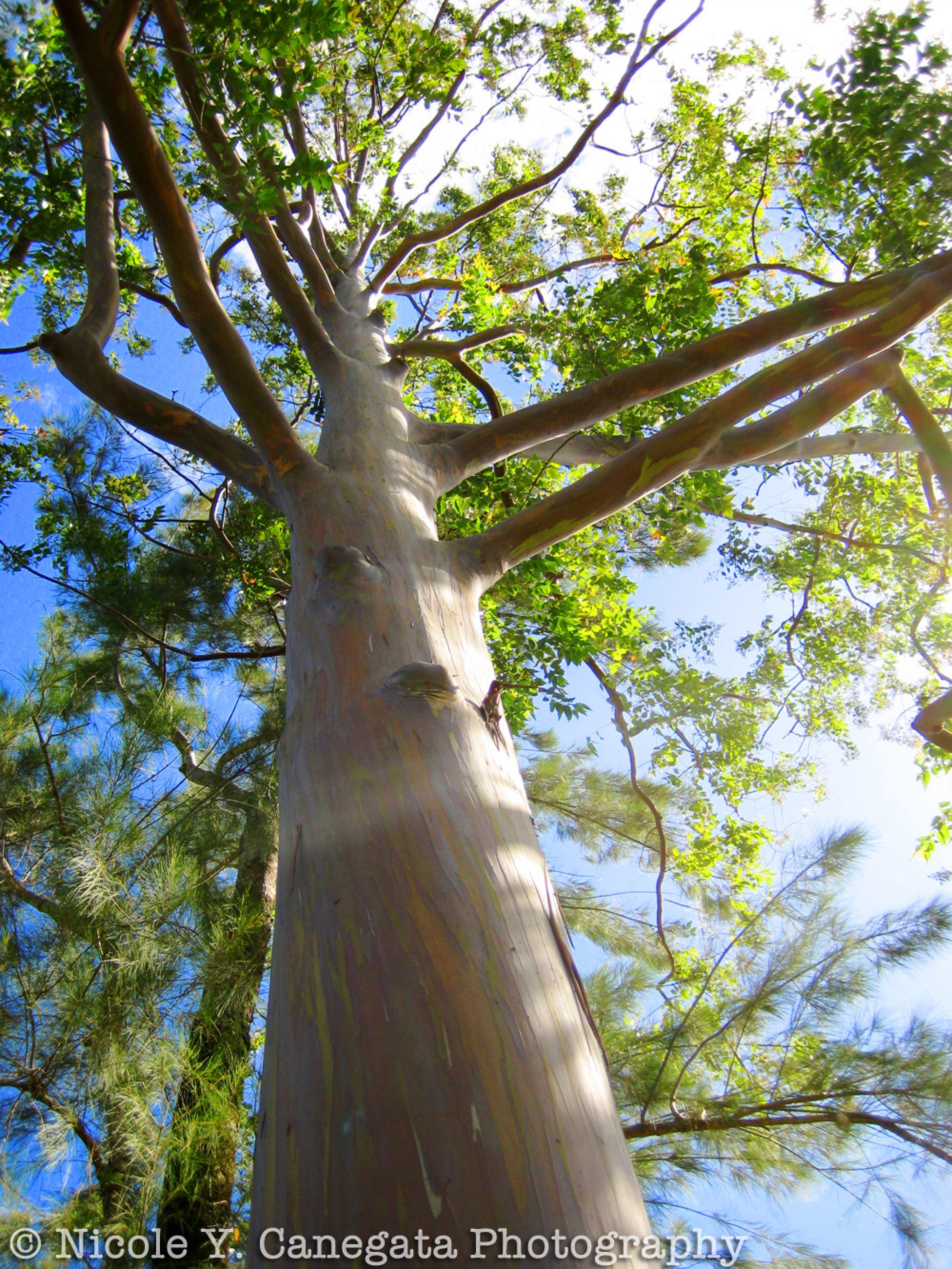 Eucalyptus Tree Our Country S Good Research