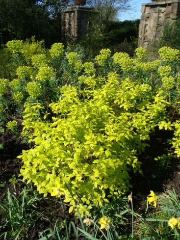Euphorbia at Highgrove