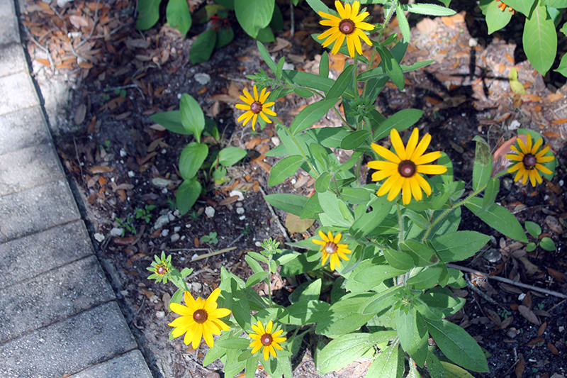 back-eyed susans
