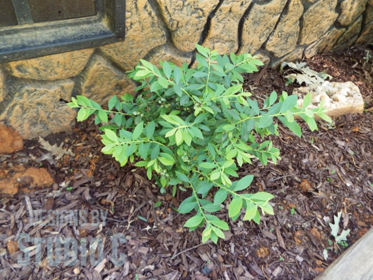 Tips for Selecting and Planting a Bush or a Shrub - Blueberry