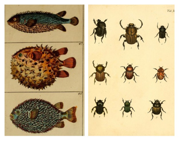 BHL Archive Entomology Natural History Fish Bug Beetle Illustrations