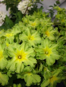 Green Primrose Window Box (2)