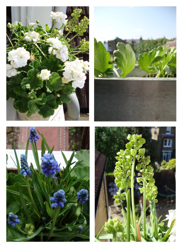 Window Boxes, white geranium, ranunculus, muscari