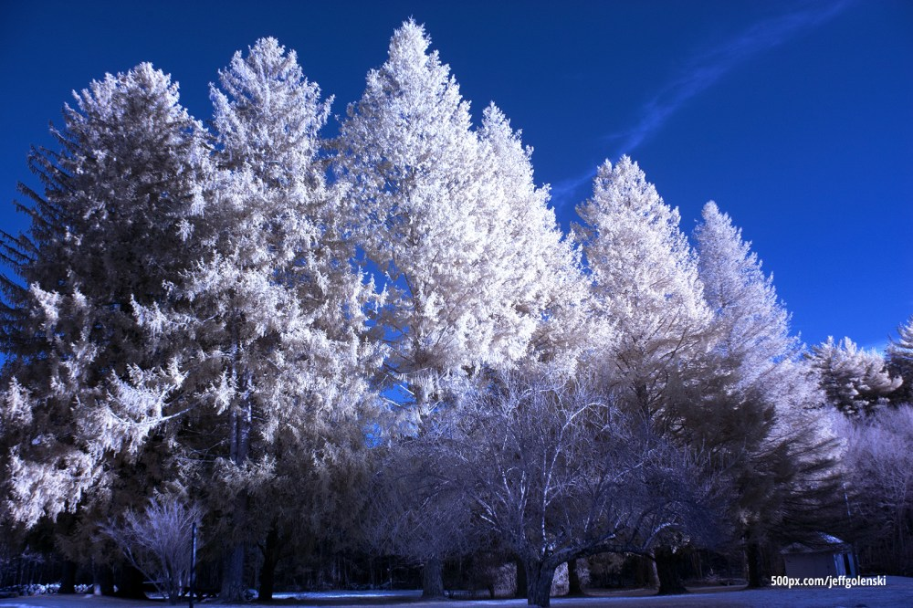Infrared Photos of Pine Trees. Freetown State Forest, Fall River, MA