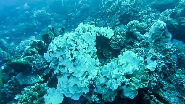 Bleached coral at Una Una