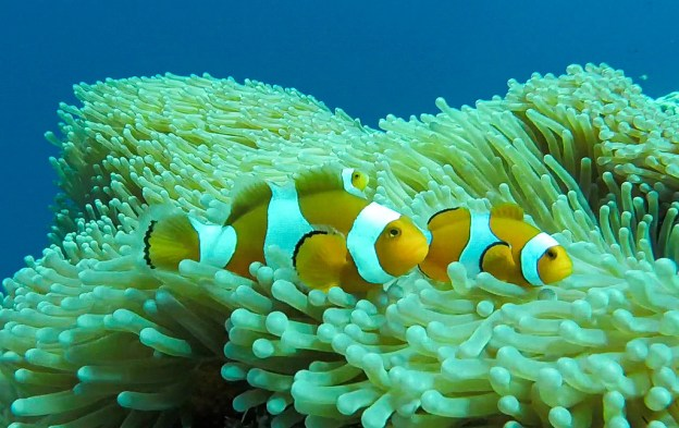 Clownfish in the Togean Islands, Sulawesi, Indonesia