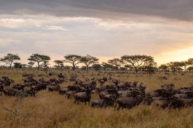 Wildebeest migration in the Western Serengeti