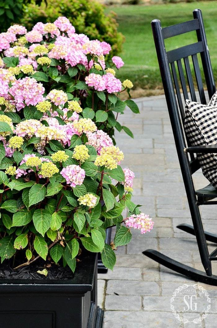 HYDRAN-GEAS-IN-PLANTERS-AND-HACK-pink-and-black-stonegableblog