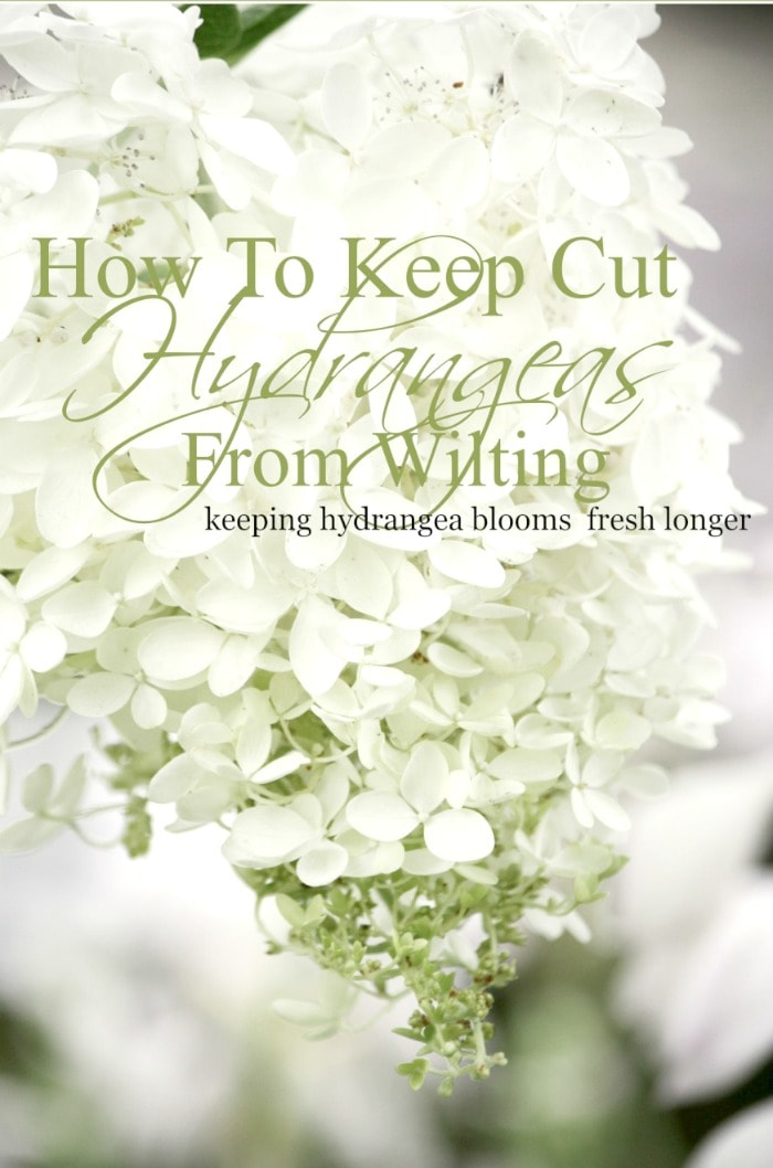 HOW-TO-KEEP-CUT-HYDRANGEAS-FROM-WILTING-Easy-ways-to-keep-hydrangea-blooms-fresh-and-full-stonegableblog.com