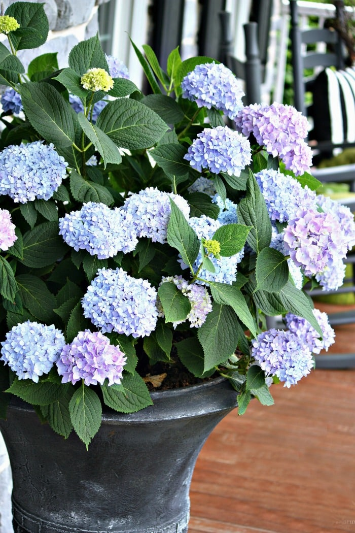 PERK UP YOUR PORCH AND PATIO THIS SPRING-hydrangeas in outdoor pots-stonegableblog.com