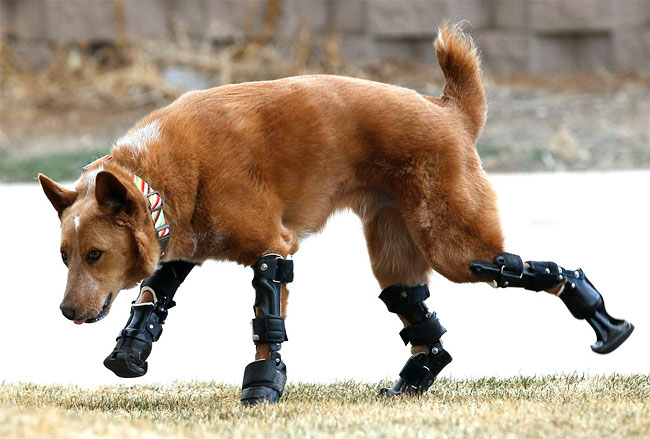 212 Injured Animals Keep Moving with Prosthetics