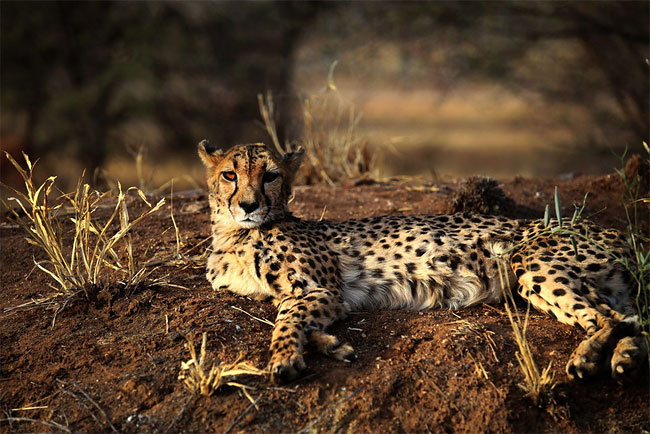 1014 Dogs Ease Namibias Cheetah farmer Conflicts