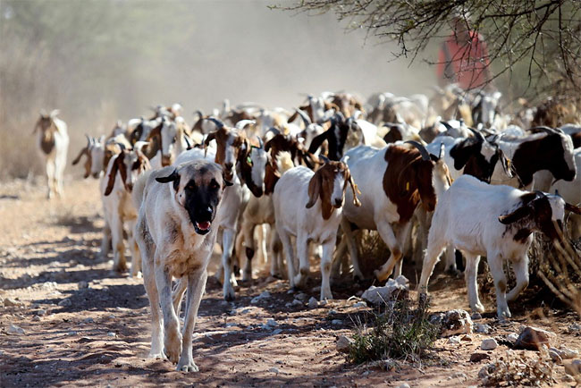 184 Dogs Ease Namibias Cheetah farmer Conflicts