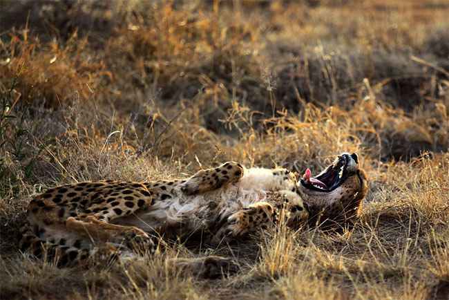 522 Dogs Ease Namibias Cheetah farmer Conflicts