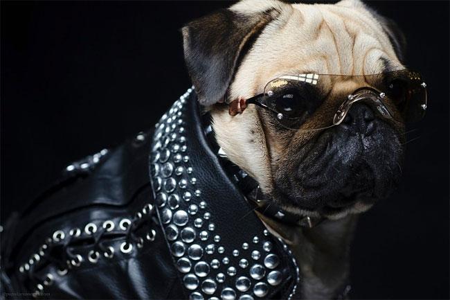 5158 Pugs in Fancy Dress