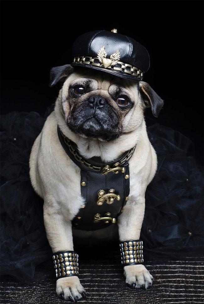 996 Pugs in Fancy Dress