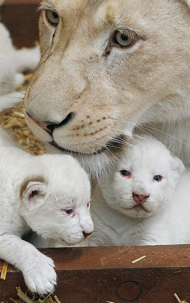 1103 Rare White Lion Cubs Born at Polish Zoo