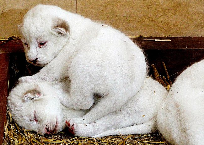 441 Rare White Lion Cubs Born at Polish Zoo