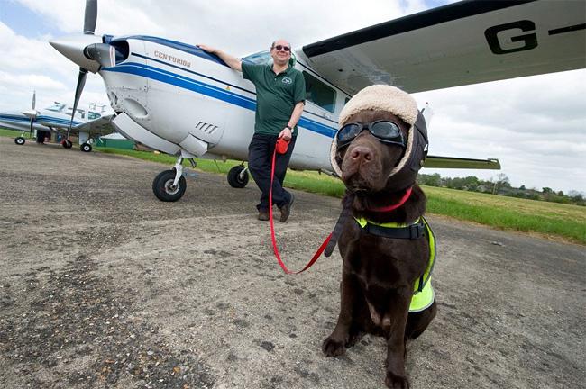 834 British Pet Dog Gets Co Pilot License