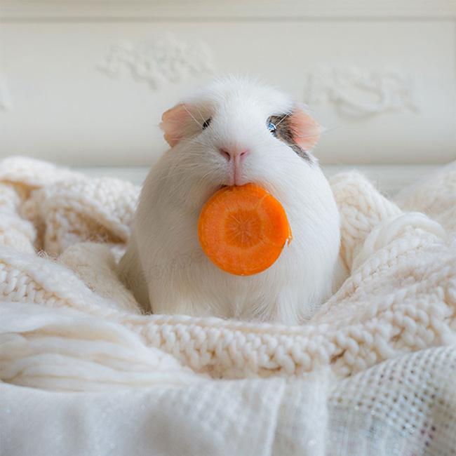 1046 BooBoo the Guinea Pig