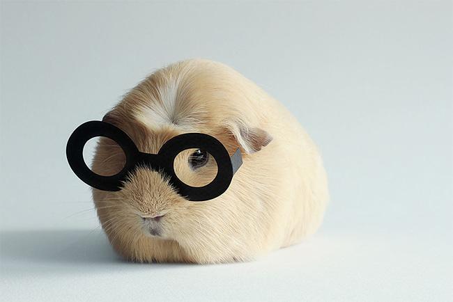 3104 BooBoo the Guinea Pig