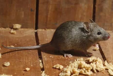 mus musculus ratón domestico