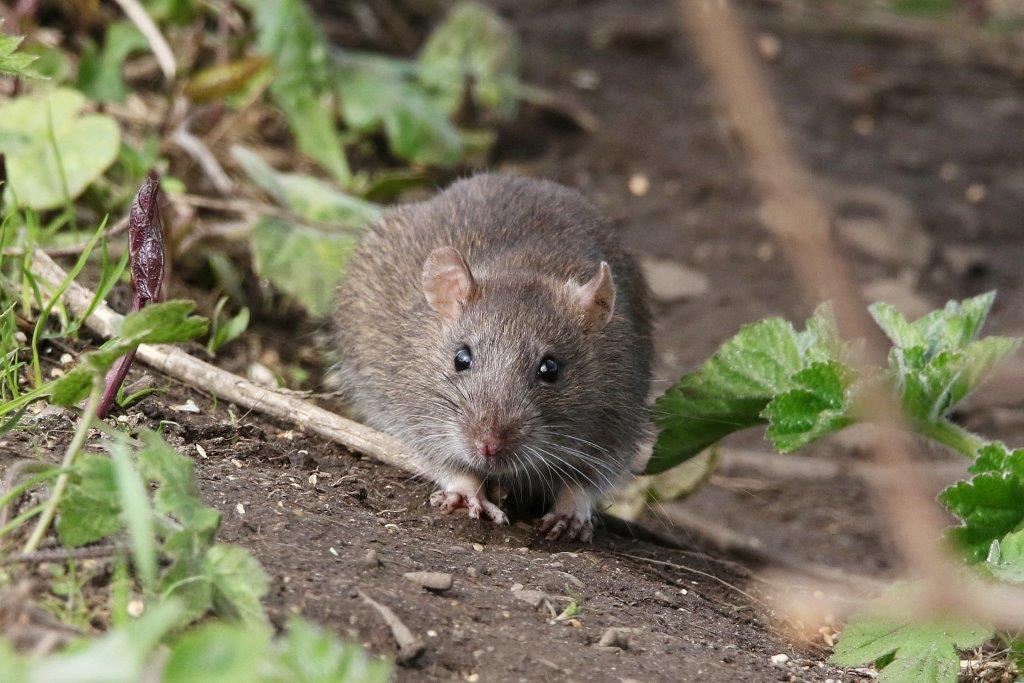 rata en el jardín