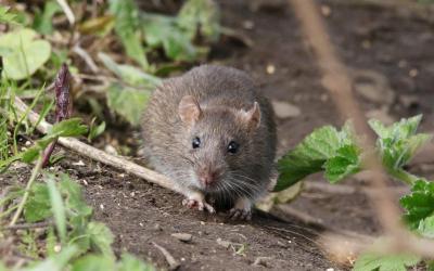 Eliminar infestación de ratas o ratones en un piso o negocio