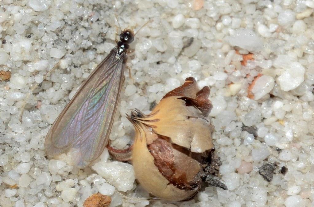 eliminar termitas voladoras