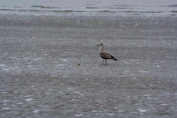 skua picking on a shellfish