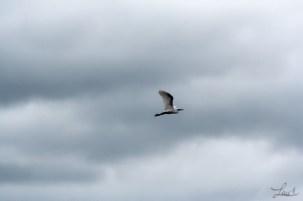 Aigrette et ciel gris