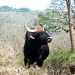 Wild Elephants – The Gentle Giants Of Madumalai National Park