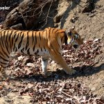 The Queen Of Pench National Park