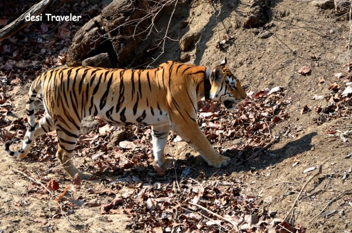 female Tigress with collar and cubs in pench