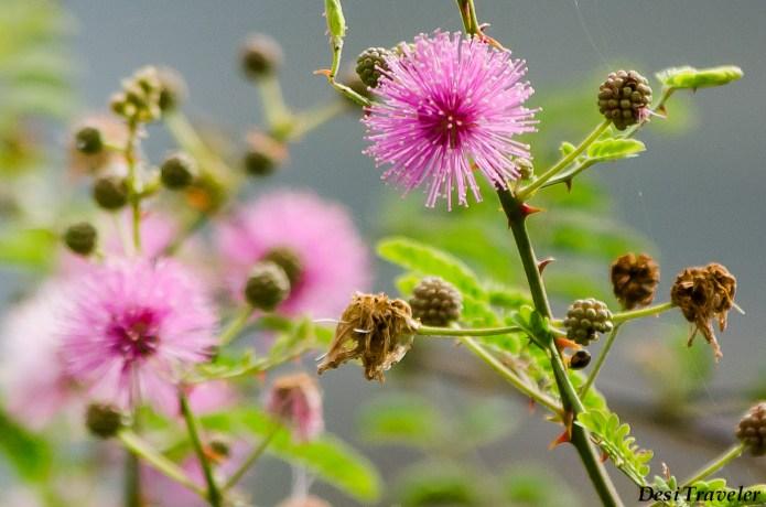 Acacia+Flowers growing in Rocks Durgam Cheruvu