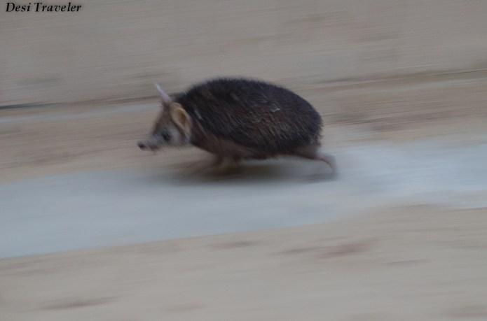 Hedgehog+of+Tal+Chapar+(1) wildlife sanctuary running away