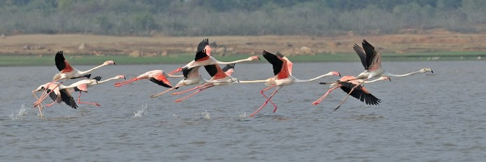 Pink Flamingos at Gandipet Hyderabad